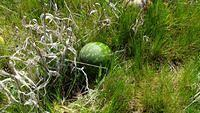 Watermelons growing in the grass just off Platform 1
