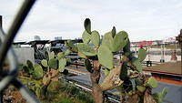 Cactii at North Melbourne