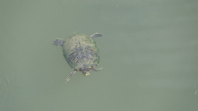 Turtles in the Yodogawa