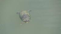 Turtles in the Yodogawa